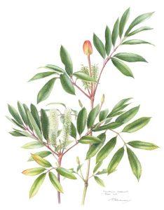 Cunonia capensis